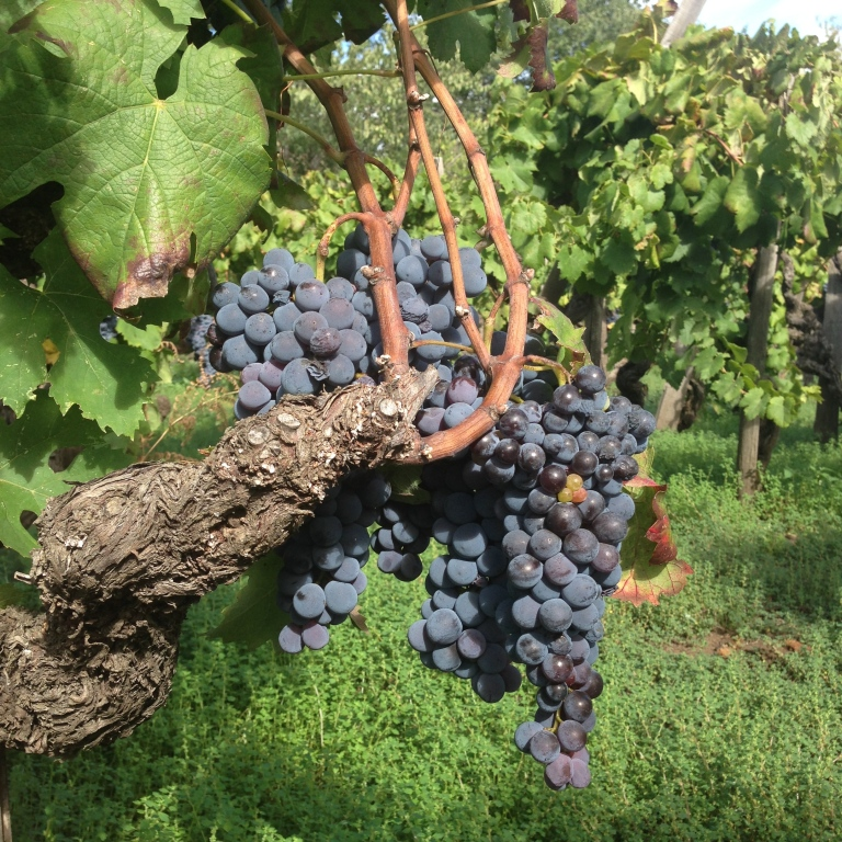 old-vine Nerello Mascalese on Mount Etna